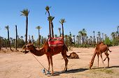 Morocco Marrakech: Typical Scenery, Palm Trees And Camel