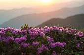 Pink Rhododendrons Flowers (rhododendron Myrtifoliumkotschyi Or Kotschyi) Against Sunlit Mountains S poster