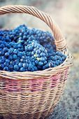 Dark Grapes In A Basket. Grape Harvesting.  Red Wine Grapes. Dark Blue Grapes, Wine Grapes In A Bask poster
