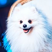 A Cute Pomeranian Dog Lounging On A Leather Armchair In The Beauty Salon For Dogs. Tomed Image. Spit poster