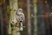Wild Ural Owl Observing From A Tree In Forest With Copy Space poster
