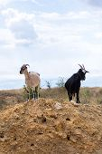 Two Black And White Goats In The Desert poster