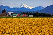 Mount Shuksan Skagit Valley Yellow Daffodils Flowers Washington State