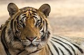 stock photo of tigress  - A close up of a tiger  - JPG