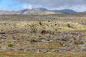 Ethiopian Bale Mountains Landscape. In Front Beautiful Flower Giant Lobelia, Lobelia Rhynchopetalum, poster