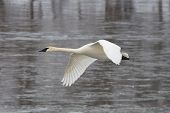 picture of trumpeter swan  - Lone Trumpeter Swan in flight over an icy river  - JPG