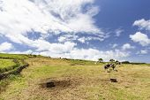 Cattle Grazing In One Of The Many Pastures On Pico Island In The Azores, Portugal. poster