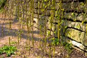 Spring Earrings With Birch Pollen. Birch Earrings Bloom Against A Stone Wall, Yellow Blooming Earrin poster