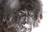 stock photo of gentle giant  - Sweet and gentle giant newfoundland dog in the snow - JPG