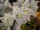 Closeup Of A Pretty White Flowers Of Scilla Mischtschenkoana With White And Blue Petals And Yellow P poster