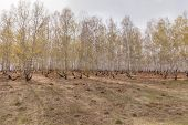 Birch Forest. Birch Grove. White Birch Trunks. Spring Sunny Forest. Russia. Selective Focus poster