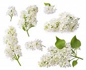 Set Of Blooming Lilac. Branches Of Lilac Flowers Isolated On White Background. poster