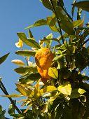 View at mandarin orange tree
