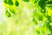 Springtime Background - Fresh Vibrant Green Leaves With Shallow Depth Of Field On A Sunny Day (copy  poster
