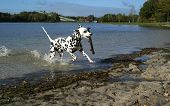Dalmatian Dog Having Fun.