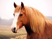 stock photo of pasture  - Palomino draught horse portrait at the pasture - JPG