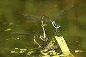 Emerald Spreadwings Mating