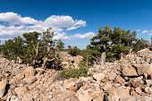 Limber Pine Grove On The North Side Of Sheep Mountain In The Mosquito Range Colorado.national Herita poster
