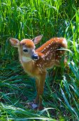 Whtetailed Deer Fawn