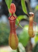 foto of nepenthes  - Nepenthe tropical carnivore pitcher plant close up