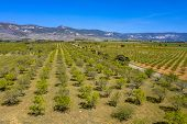 Aerial View Of Young Olive Grove In The Foothills Of The Spanish Pyrenees Near Huesca, Aragon, Spain poster