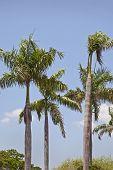 Royal palmeiras em um céu azul