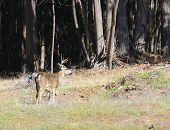 Blacktail Buck
