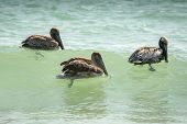 foto of gulf mexico  - A group of brown pelican rides the waves near the shore of the Gulf of Mexico on a beach near Clearwater Florida - JPG