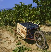 Harvesting The Grapes