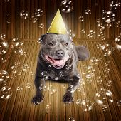Partytime For A Staffie Birthday Dog