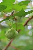 Close up of Fresh Cotton Bolls on Branch.