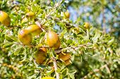 Argan Fruits On Tree
