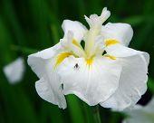White Water Iris Ensata Flower
