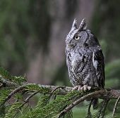 stock photo of screech-owl  - An Eastern Screech Owl  - JPG