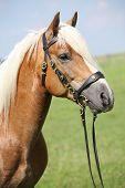 Beautiful Haflinger Stallion With Bridle