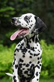 image of long tongue  - Gorgeous dalmatian puppy with long tongue in front of green background - JPG