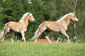 Two Haflinger Horses Running On Pasturage