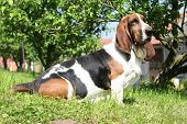 Basset Hound Sitting On The Grass