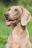 stock photo of bitch  - Portrait of Weimaraner Vorsterhund bitch on green background - JPG