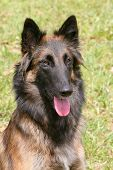 stock photo of belgian shepherd dogs  - The portrait of Belgian Shepherd Dog in the garden - JPG