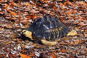 Radiated Tortoise On Fall Leaves