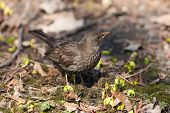 pic of brown thrush  - Thrush in the spring day close up - JPG