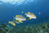 School of Fish: Oriental Sweetlips on coral reef