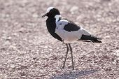 African Bird, Blacksmith Lapwing Plover, Walking