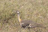African Bird, Hartlaub's Bustard, In The Bush