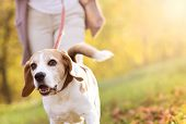 stock photo of friendship day  - Senior woman walking her beagle dog in countryside