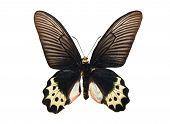 Butterfly Atrophaneura priapus