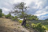 picture of juniper-tree  - Relict juniper tree in the Crimean mountains - JPG