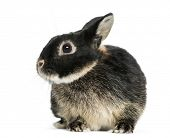 foto of dwarf rabbit  - Dwarf rabbit - JPG