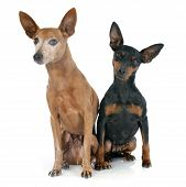 picture of miniature pinscher  - purebred miniature pinschers in front of white background - JPG